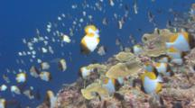 Hundreds Of Pyramid Butterflyfish Swim Above A Sloping Coral Reef
