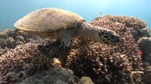 Hawksbill Turtle Swims Over Reef And Towards Camera