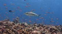 Grey Reef Shark Seen Through School Of Red Anthias