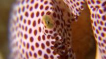 Close Up Of Spotted Coral Crab Head