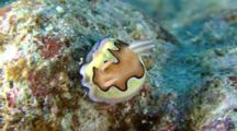 Magnificent Sea Slug Hangs On To Rock In Strong Current