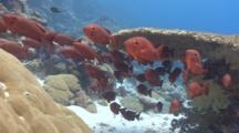Wide Shot Of Red Tropical Fish And Corals In Current