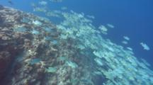 Wide Shot Of Spawning Aggregation Of Sailfin Snapper