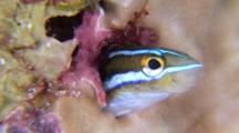 Bluestripe Fang Blenny Emerges From It's Hole