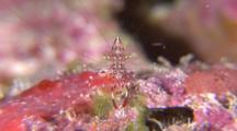 Head On Shot Of Clear Cleaner Shrimp