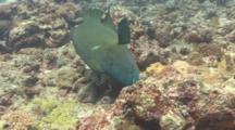 Adult Napolean Wrasse Searches For Fish Under Coral Heads