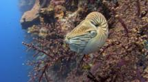 Chambered Nautilus Rests In Sea Fan