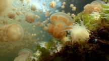 Close Up Wide Angle Shot Of Jellyfish Caught In Anemone, Jellyfish Lake