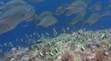 Large School Of Silver Jacks Swim Along Coral Reef And Past Dense School Of Moorish Idols
