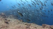 Large School Of Silver Fish And Sharks Swim In Extremely Strong Current