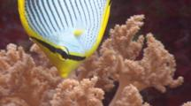 Butterflyfish Eats Soft Coral Polyps
