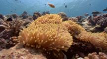 Static Shot Of Anemone And Fish Life On Coral Reef
