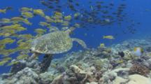 Large Male Hawksbill Turtle Swims Over Colorful And Diverse Coral Reef Through Schools Of Fish