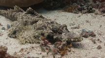 Medium Shot Of Crocodilefish