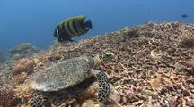 Hawksbill Turtle And Pair Of Six Banded Angelfish