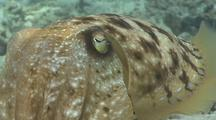 Cuttlefish Swimming With Skin Changing Colours