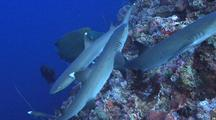 Group Of White Tip Sharks Hunting On Coral Drop Off, Napoleon Wrasse And Trevallies Hunting With Them.