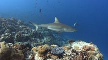 Grey Reef Shark Swims Over Reef And Towards Camera Before Exiting Frame On Right