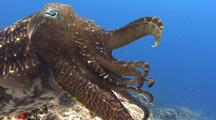 Single Male Broadclub Cuttlefish Hovers Above A Reef Displays With Tentacles