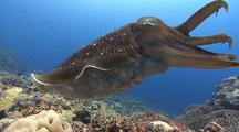 Wide Shot Of Single Male Broadclub Cuttlefish  Over A Reef With Tentacles In Display