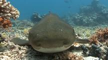 Close Up Of Zebra Shark Head As It Rests On Bottom