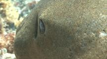 Close Up Of Zebra Shark Head, Gill And Eye As It Rests On Bottom