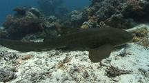 Swimming Zebra Shark Comes To Rest On The Bottom, Camera Follows