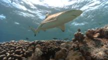 Black Tip Reef Sharks Buzz The Camera In Shallows