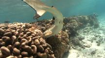 Black Tip Reef Shark Hunts Prey In Reef