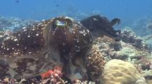 Male And Female Cuttlefish Rest Between Laying Eggs
