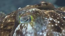 Close Up Shot Of Cuttlefish Eye
