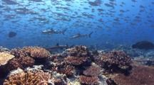 Huge School Of Big-Eye Scad Hunted By Predators Over Pristine Coral Reef