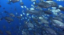 School Of Trevally Turn In Unison When Predator Strikes