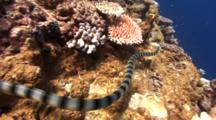Camera Follows Hunting Banded Sea Snake