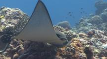 Juvenile Spotted Eagleray Feeds On Clam