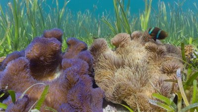 Medium shot of Two Anemones and resident fish surrounded by Sea Grass in Shallow tropical lagoon