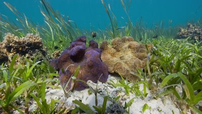 Static Wide shot of two Anemones surrounded by sea grass