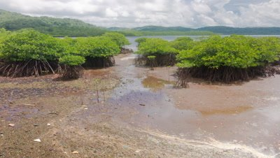 Timelapse of intertidal mud being exposed near Mangroves