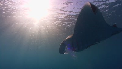 Single Manta Ray swims with sun beams in shallow water