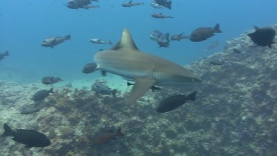 Gray Reef Sharks amongst fish swims at camera before turning