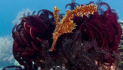 close up shot of Ornate Ghost Pipefish and crinoids
