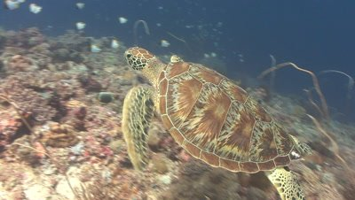 Green Turtle swims over reef,gets attacked by territorial fish and keeps going