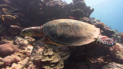 Hawksbill Turtle swims over reef and past camera