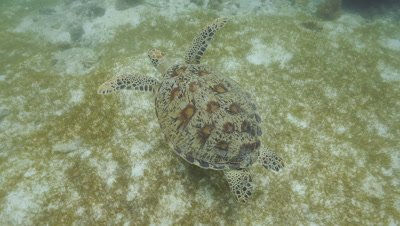 Green Turtle swims over meadow of sea grass