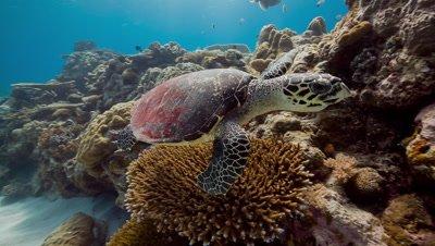 Hawksbill Turtle swims past camera