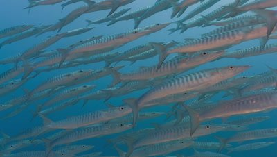 Medium shot of Large school of Barracuda in deep water
