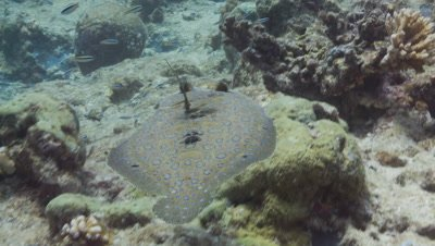 Peacock Flounder swims over rocky reef