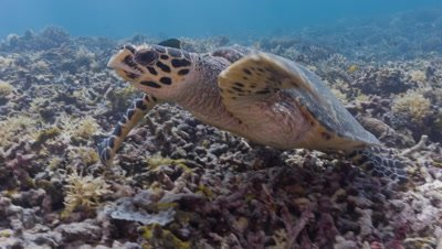 Hawksbill Turtle eating coral before swimming away
