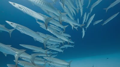 Large school of Barracuda swim towards camera