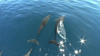 Pod of Dolphins bow ride in calm clear water